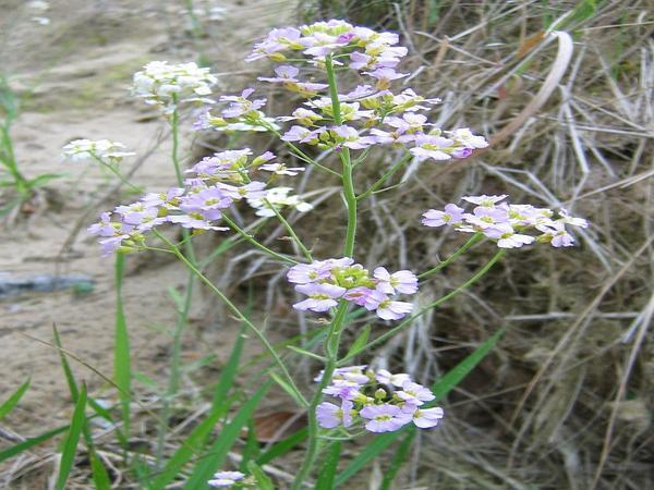 Rockcress (Arabidopsis) https://www.sagebud.com/rockcress-arabidopsis/