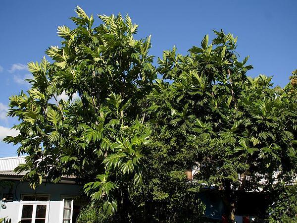 Breadfruit (Artocarpus Altilis) https://www.sagebud.com/breadfruit-artocarpus-altilis