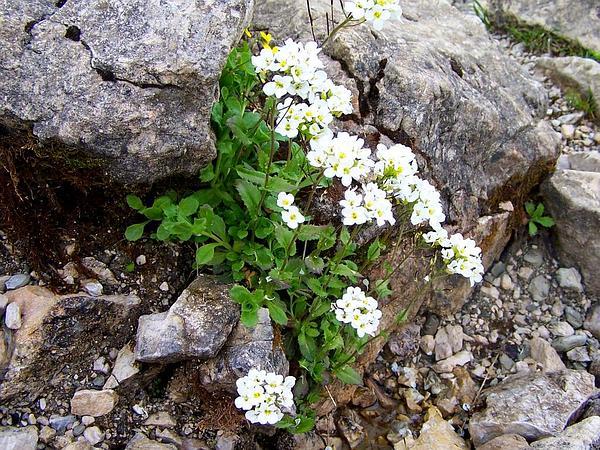 Alpine Rockcress (Arabis Alpina) https://www.sagebud.com/alpine-rockcress-arabis-alpina