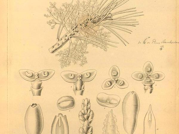 American Dwarf Mistletoe (Arceuthobium Americanum) https://www.sagebud.com/american-dwarf-mistletoe-arceuthobium-americanum