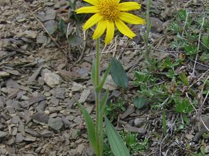 Narrowleaf Arnica