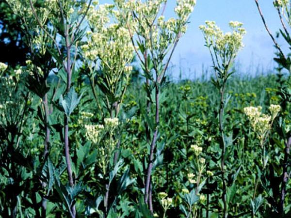 Pale Indian Plantain (Arnoglossum Atriplicifolium) https://www.sagebud.com/pale-indian-plantain-arnoglossum-atriplicifolium