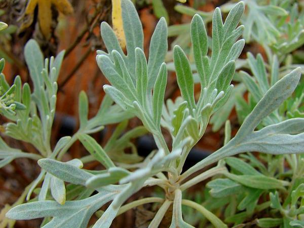 Oahu Wormwood (Artemisia Australis) https://www.sagebud.com/oahu-wormwood-artemisia-australis