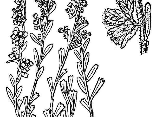 Bigelow Sage (Artemisia Bigelovii) https://www.sagebud.com/bigelow-sage-artemisia-bigelovii/