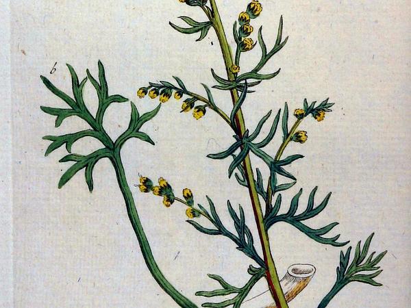 Field Sagewort (Artemisia Campestris) https://www.sagebud.com/field-sagewort-artemisia-campestris