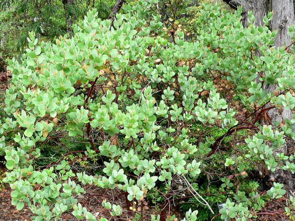 Santa Catalina Island Manzanita (Arctostaphylos Catalinae) https://www.sagebud.com/santa-catalina-island-manzanita-arctostaphylos-catalinae