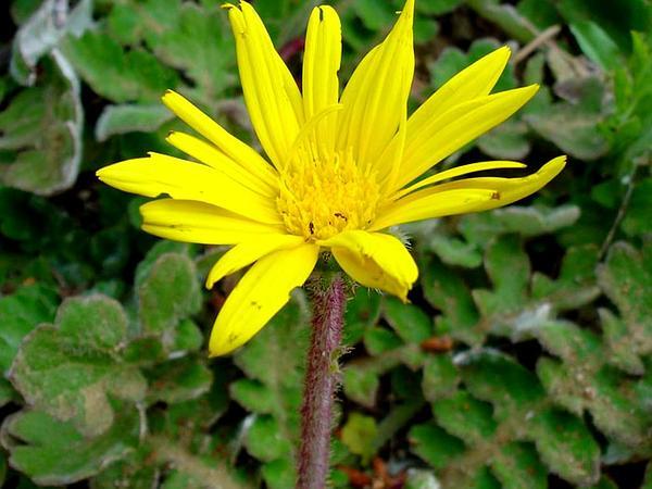 Capeweed (Arctotheca Calendula) https://www.sagebud.com/capeweed-arctotheca-calendula