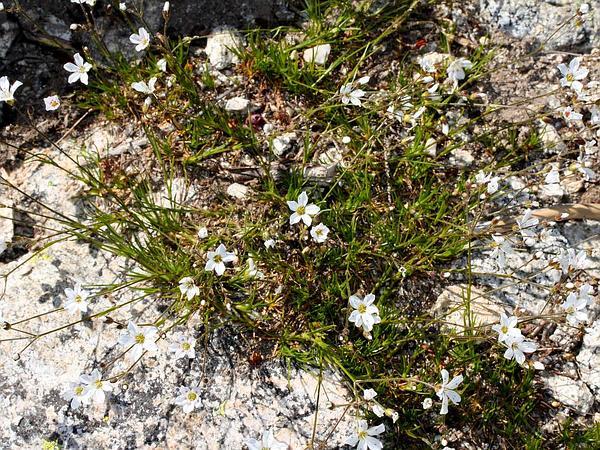 Slender Mountain Sandwort (Arenaria Capillaris) https://www.sagebud.com/slender-mountain-sandwort-arenaria-capillaris