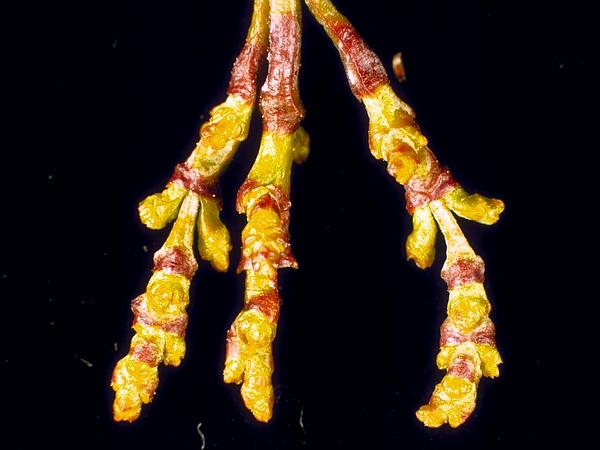 Dwarf Mistletoe (Arceuthobium) https://www.sagebud.com/dwarf-mistletoe-arceuthobium