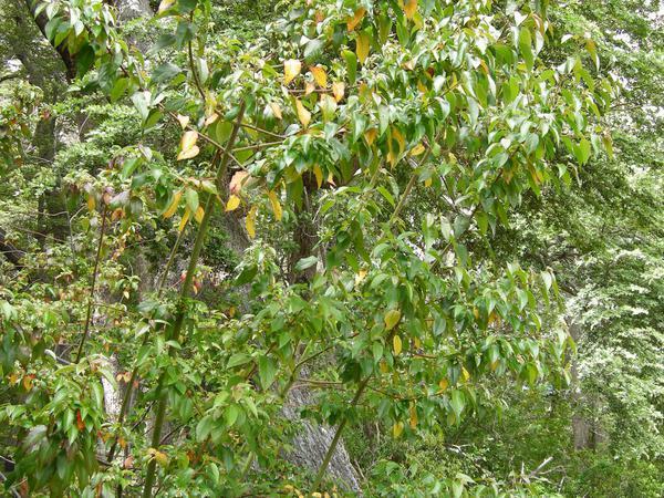 Maquei (Aristotelia Chilensis) https://www.sagebud.com/maquei-aristotelia-chilensis