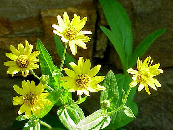 Chamisso Arnica (Arnica Chamissonis) https://www.sagebud.com/chamisso-arnica-arnica-chamissonis/