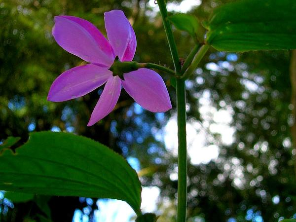 Pinkfringe (Arthrostemma Ciliatum) https://www.sagebud.com/pinkfringe-arthrostemma-ciliatum