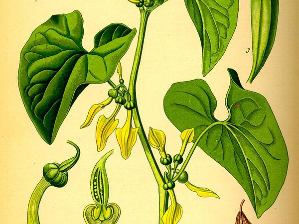 Birthwort (Aristolochia Clematitis) https://www.sagebud.com/birthwort-aristolochia-clematitis