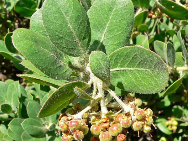 Santa Rosa Island Manzanita (Arctostaphylos Confertiflora) https://www.sagebud.com/santa-rosa-island-manzanita-arctostaphylos-confertiflora