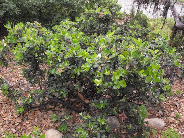 Hairy Manzanita (Arctostaphylos Columbiana) https://www.sagebud.com/hairy-manzanita-arctostaphylos-columbiana
