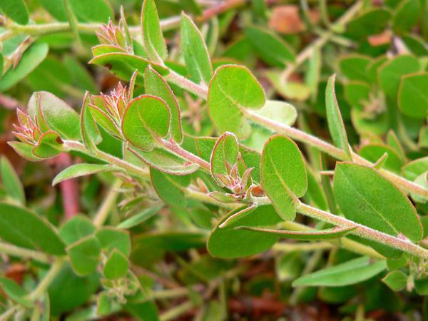 La Cruz Manzanita (Arctostaphylos Cruzensis) https://www.sagebud.com/la-cruz-manzanita-arctostaphylos-cruzensis/