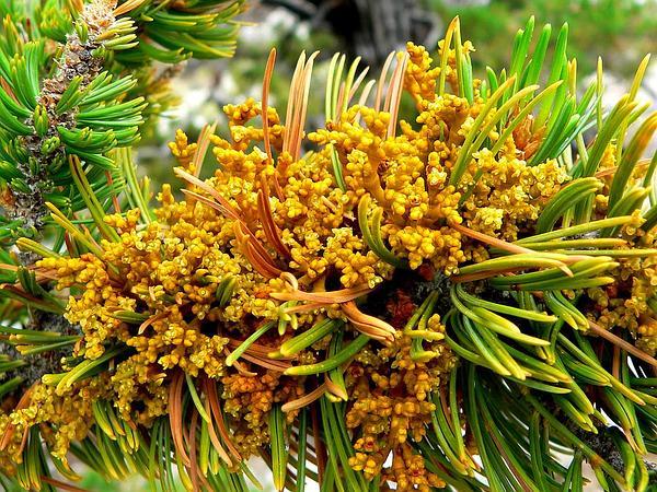 Limber Pine Dwarf Mistletoe (Arceuthobium Cyanocarpum) https://www.sagebud.com/limber-pine-dwarf-mistletoe-arceuthobium-cyanocarpum