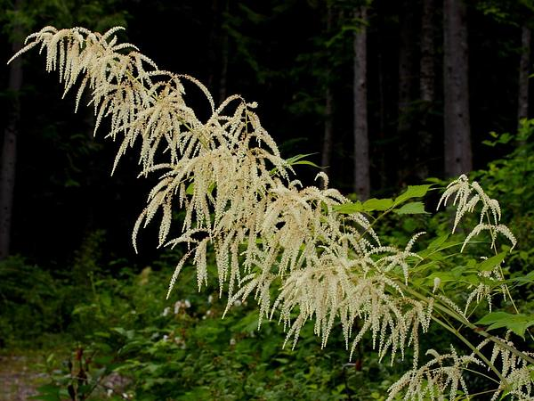 Bride's Feathers (Aruncus Dioicus) https://www.sagebud.com/brides-feathers-aruncus-dioicus