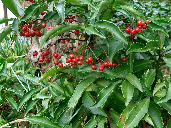 Marlberry (Ardisia) https://www.sagebud.com/marlberry-ardisia