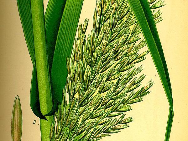 Giant Reed (Arundo Donax) https://www.sagebud.com/giant-reed-arundo-donax/