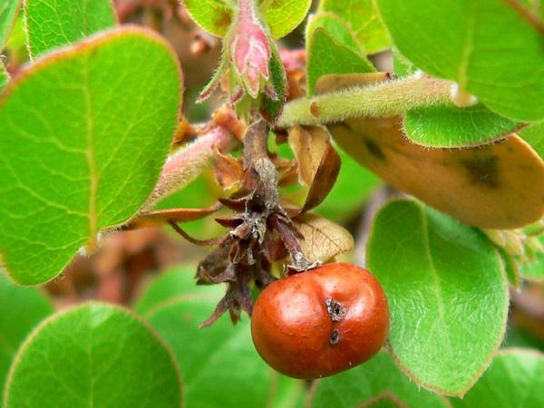 Little Sur Manzanita (Arctostaphylos Edmundsii) https://www.sagebud.com/little-sur-manzanita-arctostaphylos-edmundsii