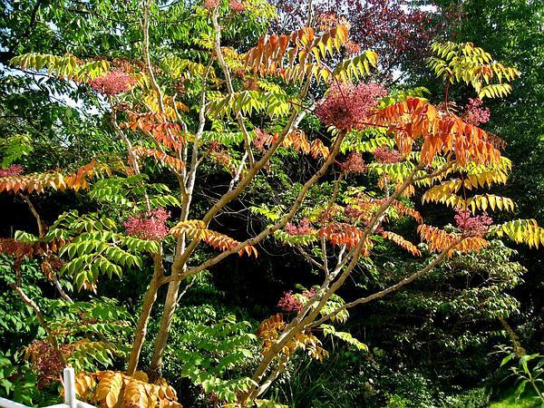Japanese Angelica Tree (Aralia Elata) https://www.sagebud.com/japanese-angelica-tree-aralia-elata