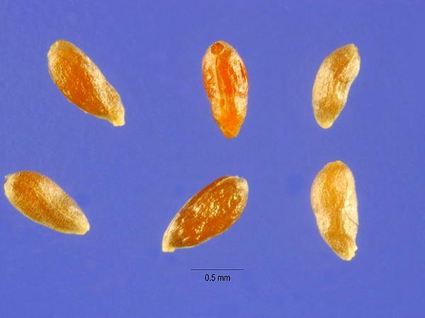 Sand Sagebrush (Artemisia Filifolia) https://www.sagebud.com/sand-sagebrush-artemisia-filifolia
