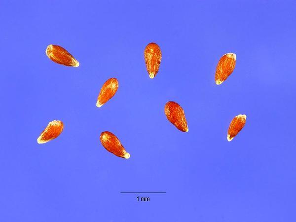 Prairie Sagewort (Artemisia Frigida) https://www.sagebud.com/prairie-sagewort-artemisia-frigida