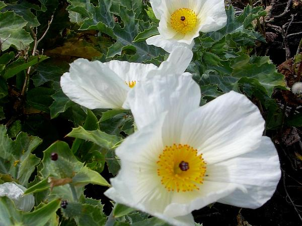 Smooth Pricklypoppy (Argemone Glauca) https://www.sagebud.com/smooth-pricklypoppy-argemone-glauca