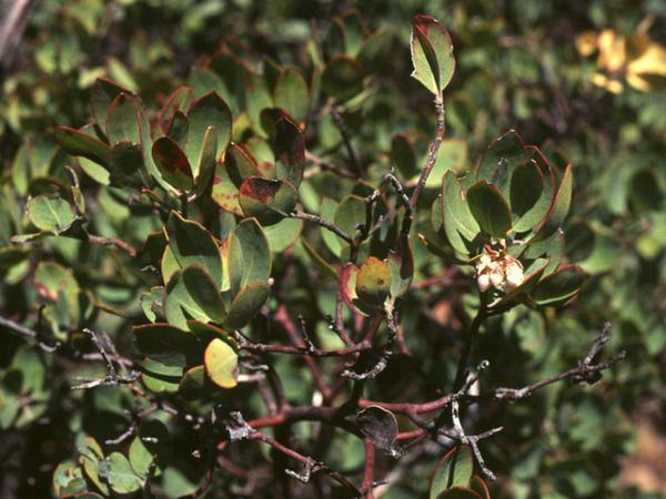 Eastwood's Manzanita (Arctostaphylos Glandulosa) https://www.sagebud.com/eastwoods-manzanita-arctostaphylos-glandulosa