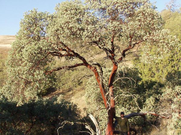Bigberry Manzanita (Arctostaphylos Glauca) https://www.sagebud.com/bigberry-manzanita-arctostaphylos-glauca