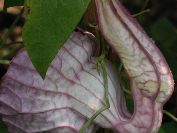 Pelicanflower (Aristolochia Grandiflora) https://www.sagebud.com/pelicanflower-aristolochia-grandiflora