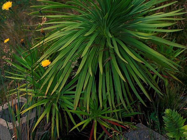 Hana Forest Silversword (Argyroxiphium Grayanum) https://www.sagebud.com/hana-forest-silversword-argyroxiphium-grayanum