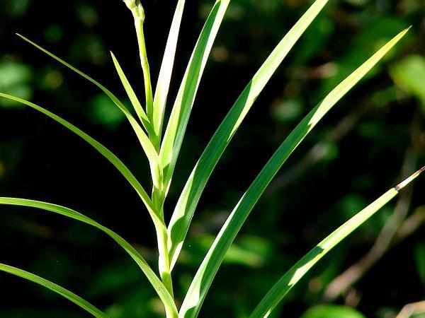 Bamboo Orchid (Arundina Graminifolia) https://www.sagebud.com/bamboo-orchid-arundina-graminifolia