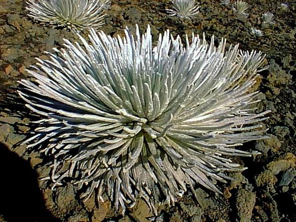 Silversword (Argyroxiphium) https://www.sagebud.com/silversword-argyroxiphium