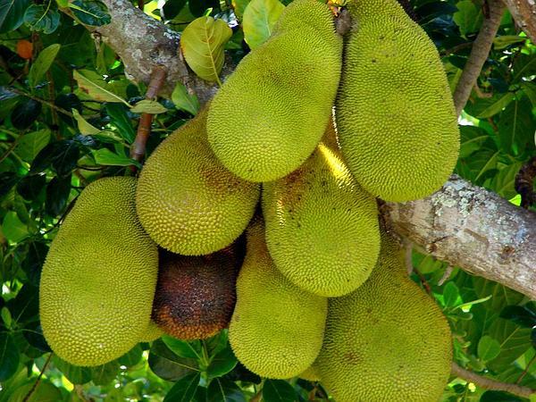 Jackfruit (Artocarpus Heterophyllus) https://www.sagebud.com/jackfruit-artocarpus-heterophyllus