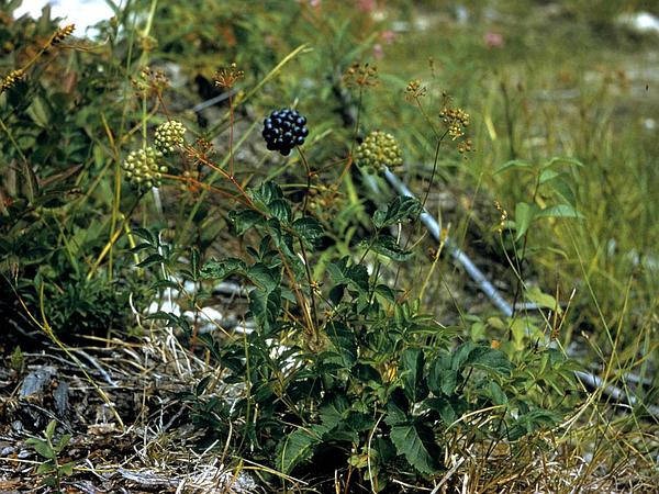 Bristly Sarsaparilla (Aralia Hispida) https://www.sagebud.com/bristly-sarsaparilla-aralia-hispida