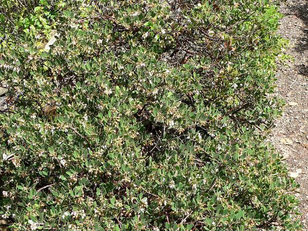 Hooker's Manzanita (Arctostaphylos Hookeri) https://www.sagebud.com/hookers-manzanita-arctostaphylos-hookeri