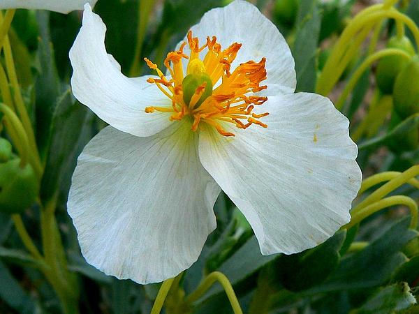 Common Bearpoppy (Arctomecon Humilis) https://www.sagebud.com/common-bearpoppy-arctomecon-humilis