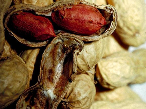 Peanut (Arachis Hypogaea) https://www.sagebud.com/peanut-arachis-hypogaea