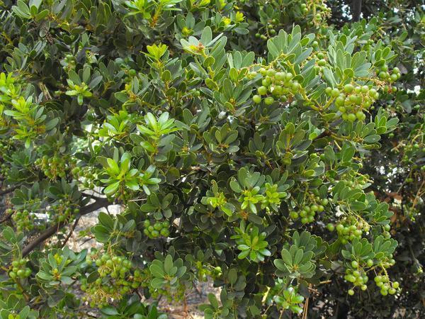 Island Manzanita (Arctostaphylos Insularis) https://www.sagebud.com/island-manzanita-arctostaphylos-insularis