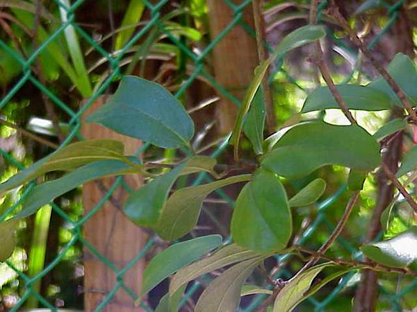 Dutchman's Pipe (Aristolochia) https://www.sagebud.com/dutchmans-pipe-aristolochia