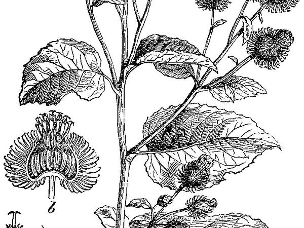 Greater Burdock (Arctium Lappa) https://www.sagebud.com/greater-burdock-arctium-lappa
