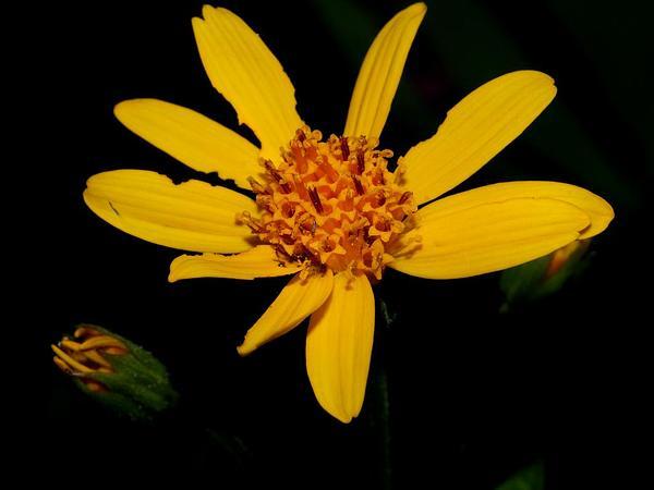 Broadleaf Arnica (Arnica Latifolia) https://www.sagebud.com/broadleaf-arnica-arnica-latifolia