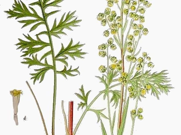 Siberian Wormwood (Artemisia Laciniata) https://www.sagebud.com/siberian-wormwood-artemisia-laciniata