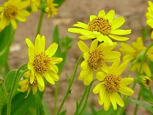 Spearleaf Arnica