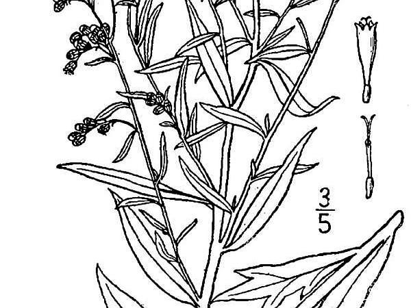 White Sagebrush (Artemisia Ludoviciana) https://www.sagebud.com/white-sagebrush-artemisia-ludoviciana