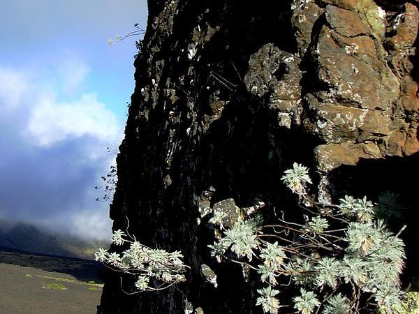 Maui Wormwood (Artemisia Mauiensis) https://www.sagebud.com/maui-wormwood-artemisia-mauiensis