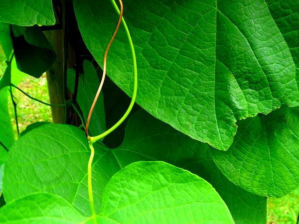Pipevine (Aristolochia Macrophylla) https://www.sagebud.com/pipevine-aristolochia-macrophylla