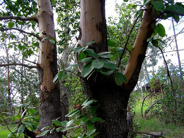 Pacific Madrone (Arbutus Menziesii) https://www.sagebud.com/pacific-madrone-arbutus-menziesii